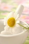 Kamillenblüte auf Mörser (Close Up)
