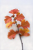 Sprig of hawthorn with autumn tints