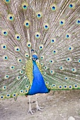 Peacock displaying its tail feathers