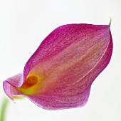 A calla lily (close-up)