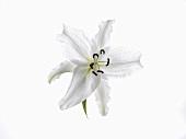 White Lili on a White Background