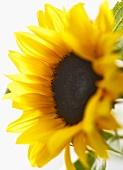 Sunflower (close-up)