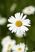 Marguerite in grass (close-up)