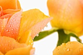 Salmon coloured rose petals with drops of water