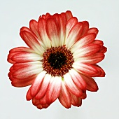 Red and white gerbera