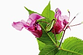 Himalayan Balsam (Impatiens glandulifera), close-up