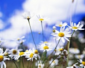 Chamomile flowers in the open air