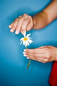 Hands picking the petals from a marguerite