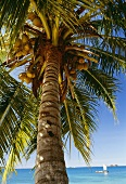 Kokospalme am Strand von Mauritius