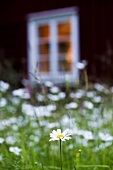 Wild flower meadow in front of red wooden house in Sweden