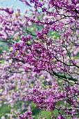 Flowering Judas tree