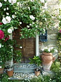 Climbing roses on a natural stone wall, Tuscany, Marches region, Italy