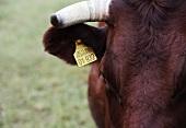 Ein Rind mit Kennzeichnung im Ohr (Nahaufnahme)