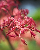 Read Japanese maple (acer palmatum rube)