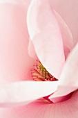 A magnolia flower (macro zoom)