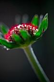 An echinacea flower