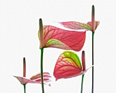 A flamingo flower (anthurium)