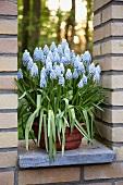 Bright blue grape hyacinths in a plant pot