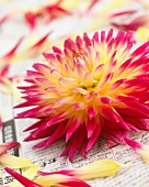 Dahlia flower 'Tahiti Sunrise'