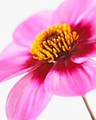 Dahlia flower 'Happy Single Wink'