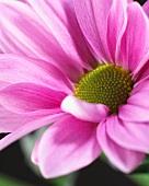 Pinkfarbene Chrysanthemenblüte