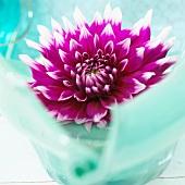 Dahlia flower 'England's Glory'