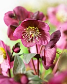 Dusty pink Christmas Rose (Helleborus) 'Anne's Red'