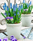 Blue grape hyacinth and horned pansies in plant pots