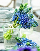 A small bouquet of blue grape hyacinth in a water glass