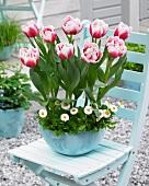 Zweifarbige Tulpen & weisse Bellis in Pflanzschale