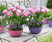 Zwei Pflanzgefäße mit Tulpen & Hornveilchen