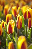 Bed or red and yellow tulips (Tulipa Goudstuk)