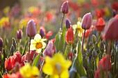 Spring flowers in the morning light