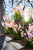 Pink hyacinth in plant containers