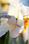 Two tone daffodil (Narcissus Royal Orange)