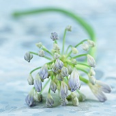 Peter Pan flower (agapanthus)