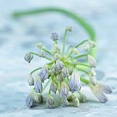 Blüte einer Schmucklilie (Agapanthus)