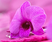 A single pink dendrobium orchid flower (close up)