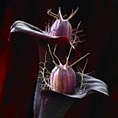 Blooming black calla (Zantedeschia Black Star)