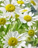 Chamomile flowers 'Single Vegmo' (Matricaria)