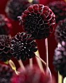 Black pom pom dahlia (Dahlia La Recoleta)