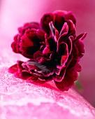 A single dark red carnation (close up)