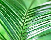 Pygmy palm leaf (Phoenix Roebelenii)