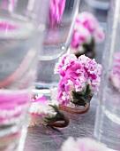 Cyclamen 'Bellissima'(Cyclamen Persicum)