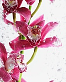 Orchid flowers (Phalaenopsis) in water