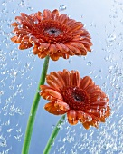 Two gerberas in water