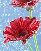 Two red gerberas in water