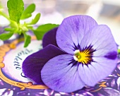 A purple pansy