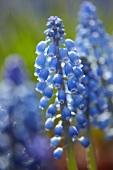 Armenian grape hyacinths (muscari armeniacum)