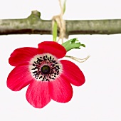 An anemone hanging from a twig